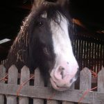 An image of Charlie the Shire Horse, the iconic horse of Acton Scott Historic Working Farm.