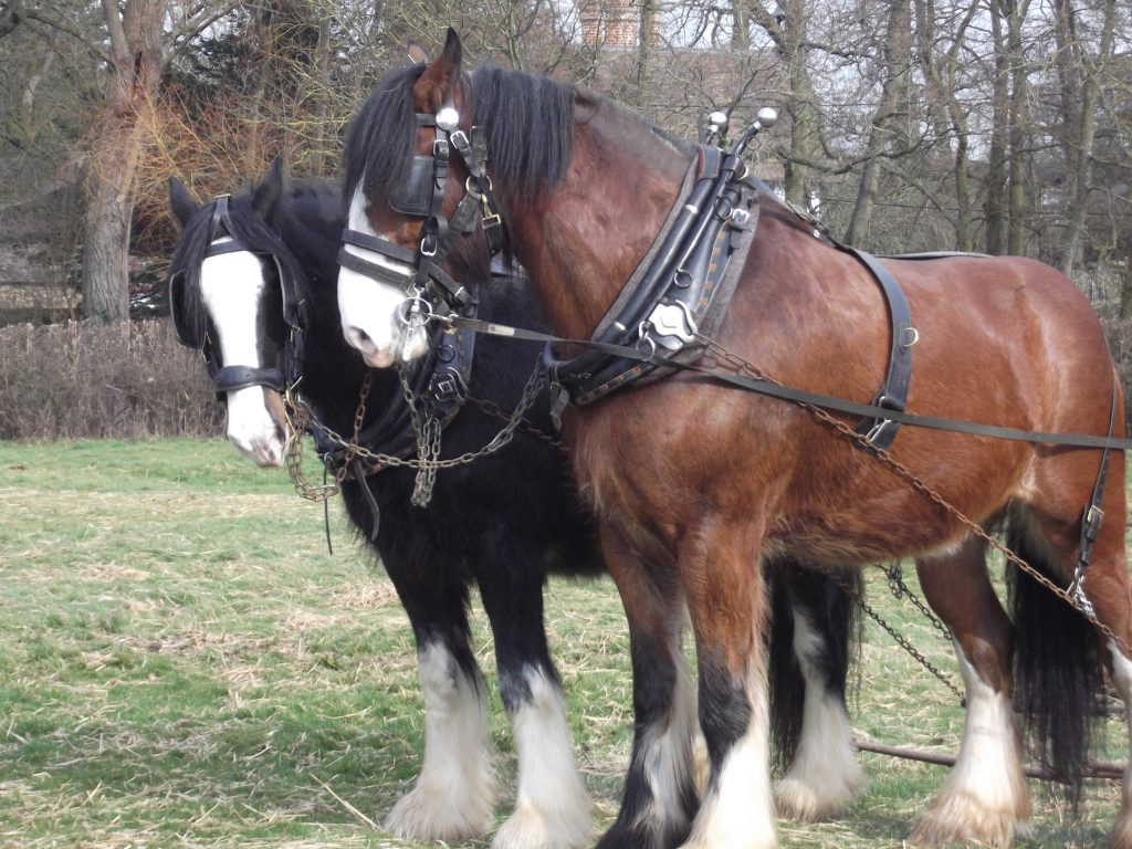 An image of two shire horses at Acton Scott Historic Working Farm who are in phased retirement. Charlie and Joe are loving life after working the fields at Acton Scott Historic Working Farm.