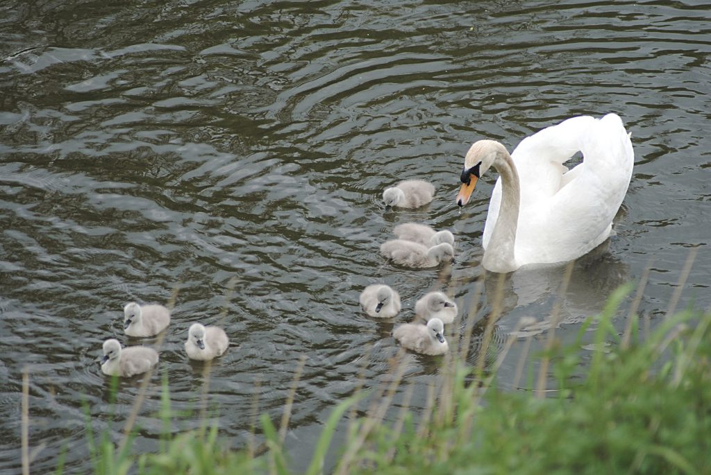 An image of nine cygnets with a mature swan on the river at Severn Valley Country Park. A volunteer led project at Severn Valley Country Park to reclaim the wetlands saw the arrivals of the swans.