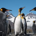 Emperor penguins at the forefront of their colony with snow covered mountains and blue skies in Antarctica