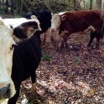 Image of four Hereford cows at Brown Moss Countryside Heritage site in some woodland