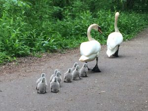 An image of nine cygnets following their parents through Severn Valley Country Park in Shropshire.