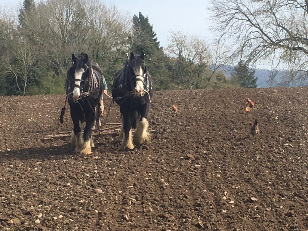 An image of William and Alfie, the new pair of working shire horses at Acton Scott Historic Working Farm. The pair of shire horses are ploughing a field at Acton Scott Historic Working Farm as they learn the ropes.