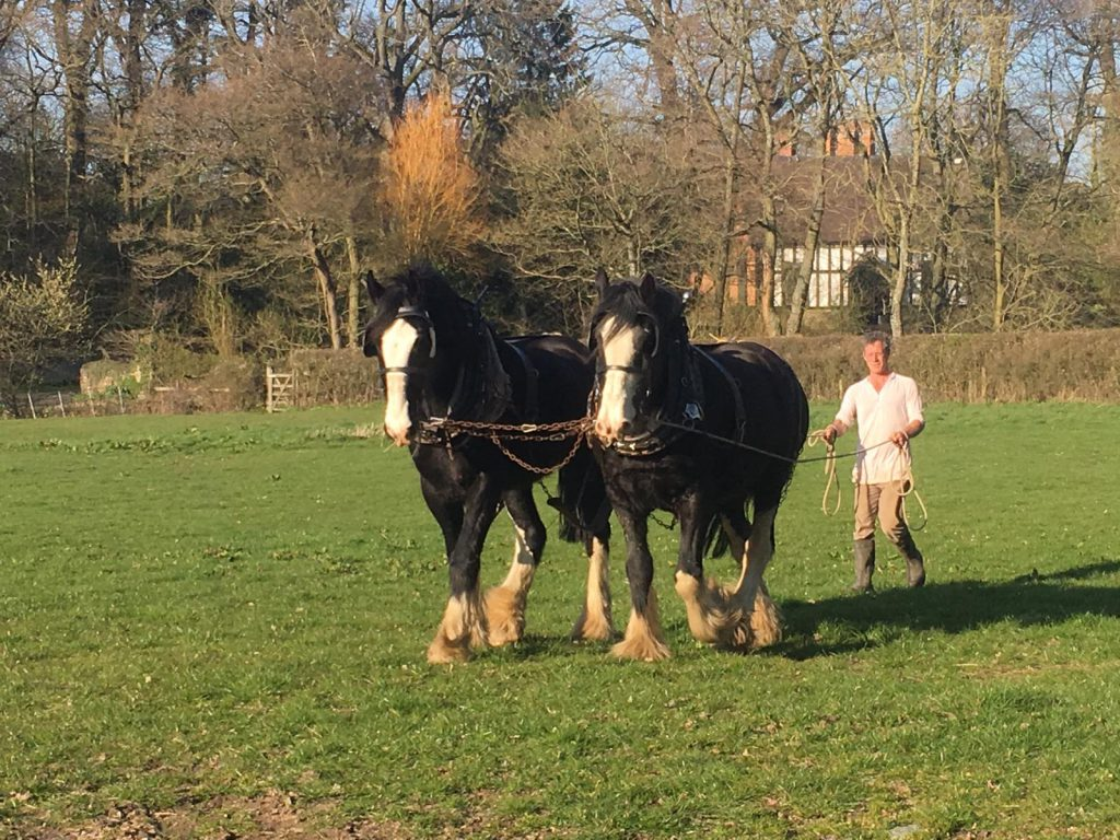 An image of the new pair of working shire horses at Acton Scott Historic Working Farm with wagoner and equine manager, Simon Trueman.
